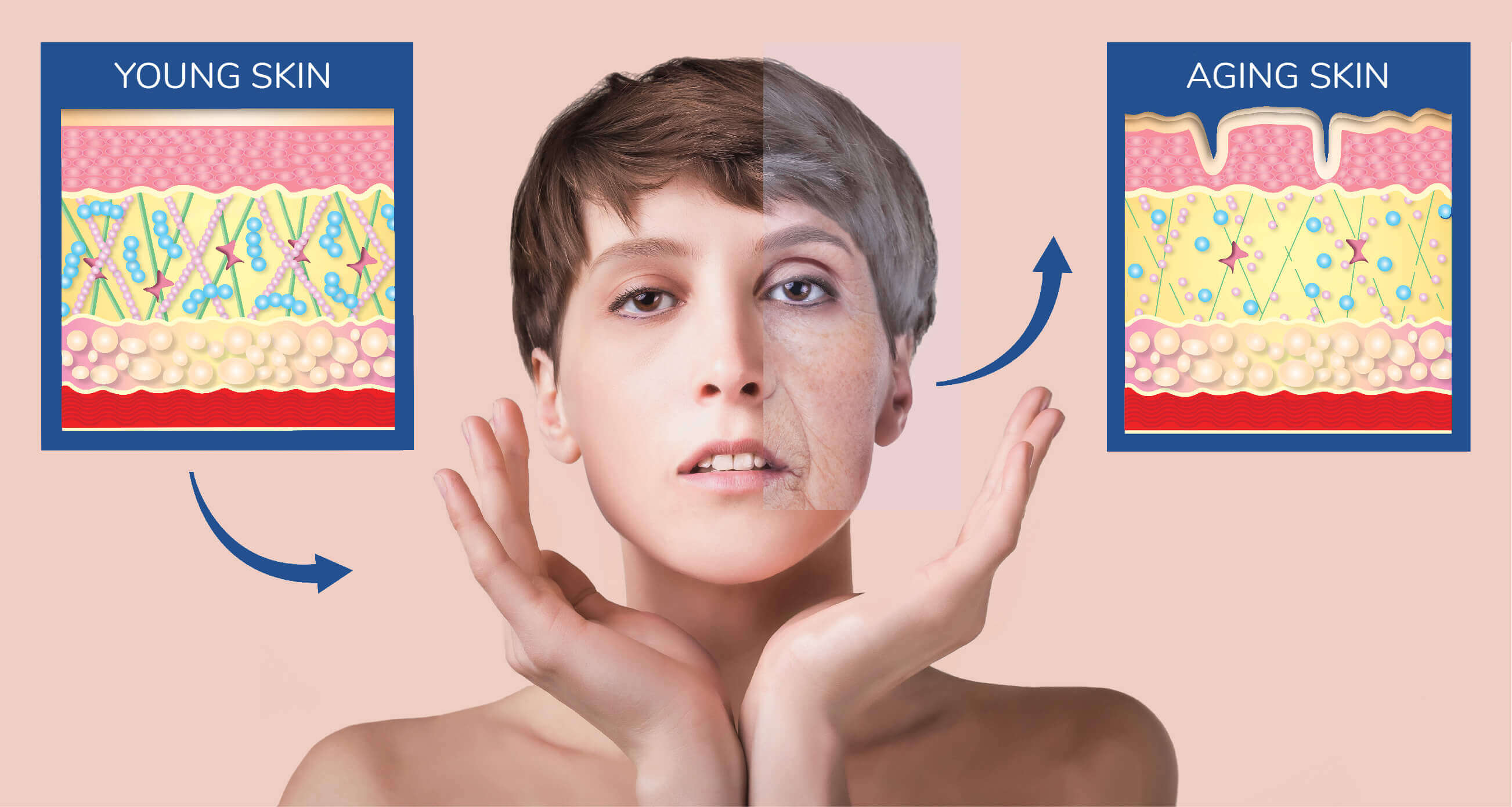 Illustration of young versus aging skin